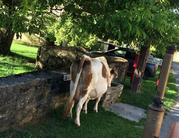 Koeien in het dorp